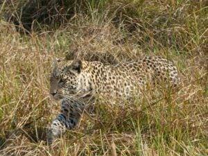 rs-p1000562-leopard