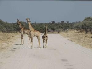 facts about giraffes