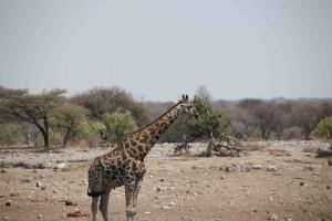 113A5496 giraffe sm