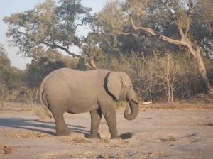 Elephant Okavango Delta s