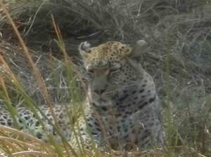 Leopard Okavango Delta s