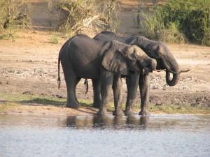 Cathy Africa Day 11 Friday Aug. 31 Leave Zimbabwe, Chobe River Cruise 068 sm