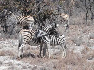 HM IMG_2358 zebras